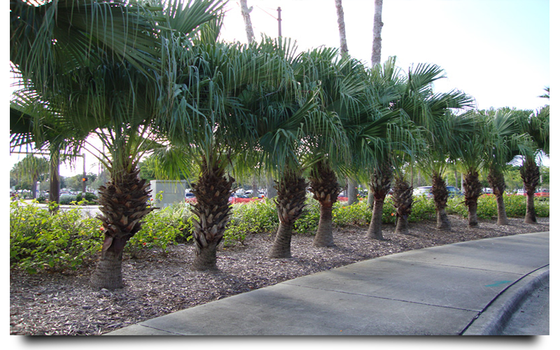 CHINESE PALM CAPE CORAL