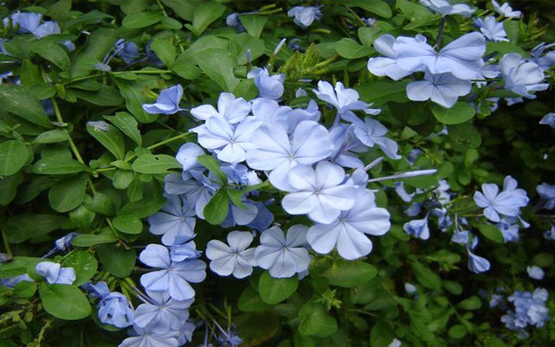 Blue Plumbago Cape Coral