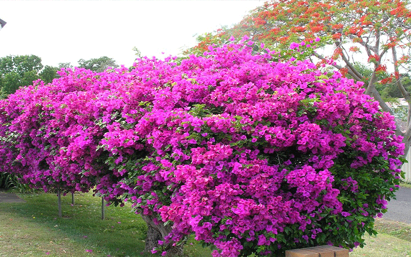 View all southern california landscaping pictures - Bougainvillea Cape Coral