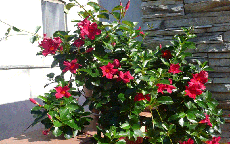 Dipladenia Red Cape Coral