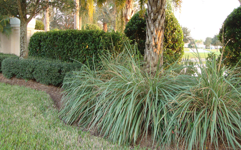 Ornamental Grasses Florida Fakahatchee grass cape coral workwithnaturefo
