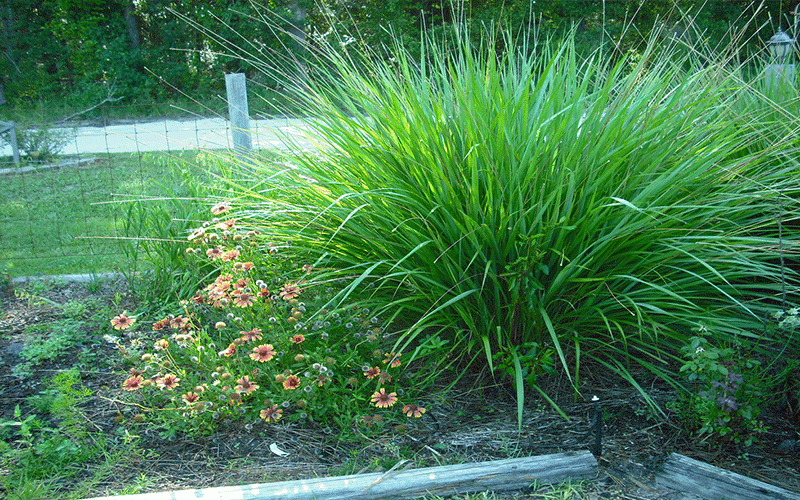 Fakahatchee grass cape coral for Tall ornamental grasses for shaded areas