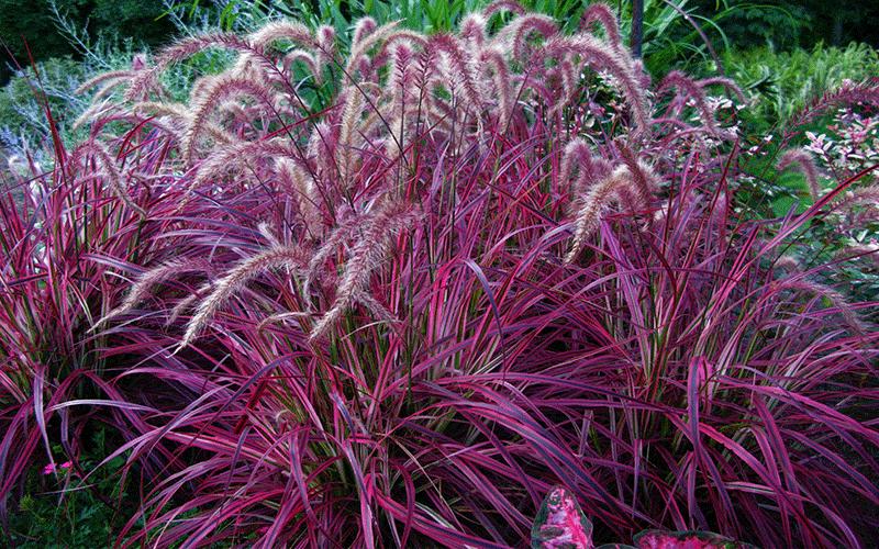 Dwarf Grasses Landscaping Redfountain3g workwithnaturefo