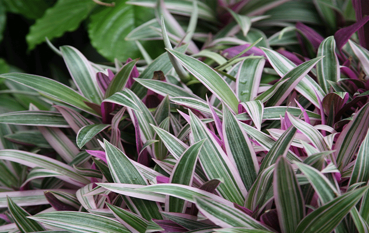 Shade plants cape coral