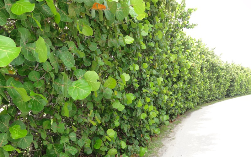Sea Grape Cape Coral